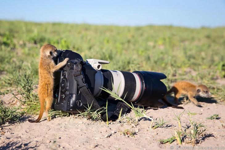Zariguella que simula estar tomando una foto a otra zariguella frente a la cámara