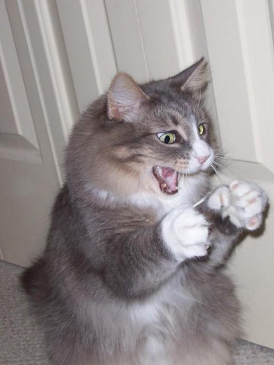 gato emocionado por agarrar algo