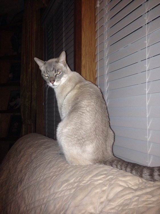 gato con la cara de molesto