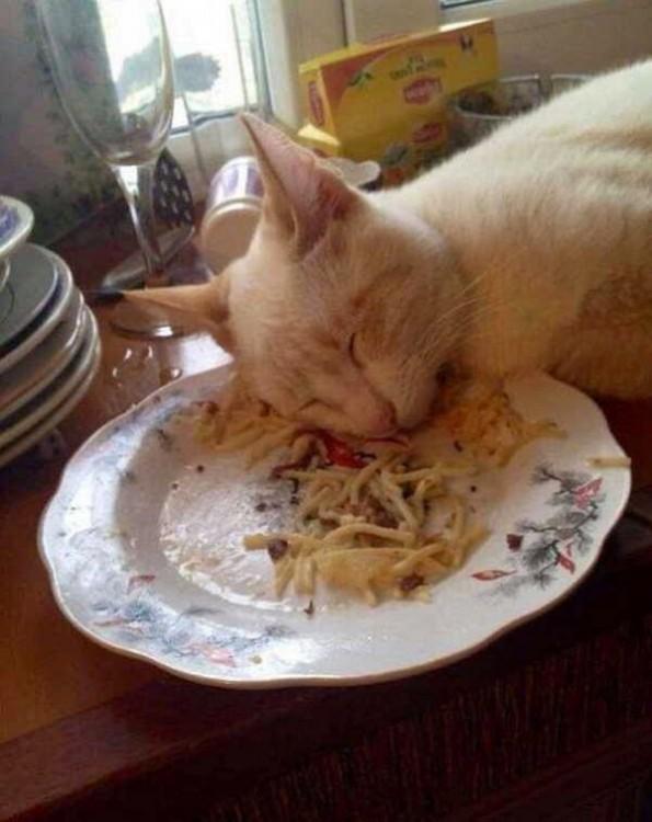 gato dormido sobre la comida porque se quedo dormido