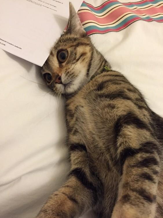 gato con los ojos muy abiertos como asustado o como un zombie
