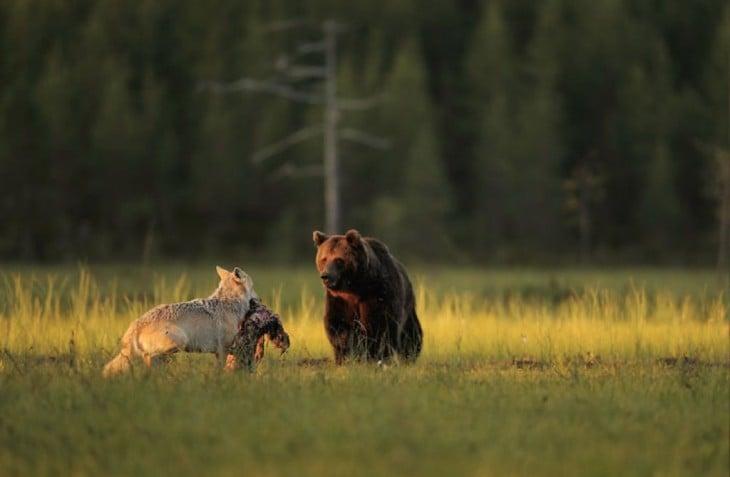 oso y loba cazan juntos su cena todos los dias