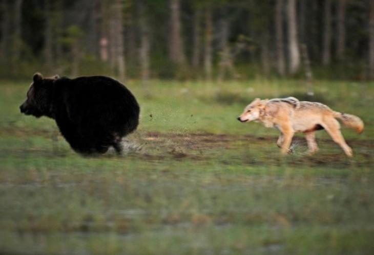 oso y loba jugando en el bosque de Europa como amigos