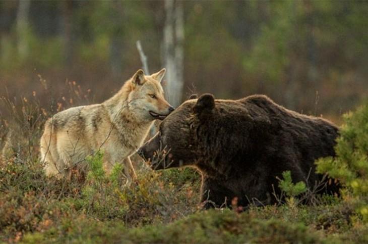 loba y oso jugando entre los árboles