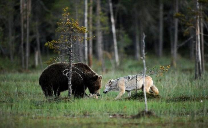 oso y loba comiendo juntos