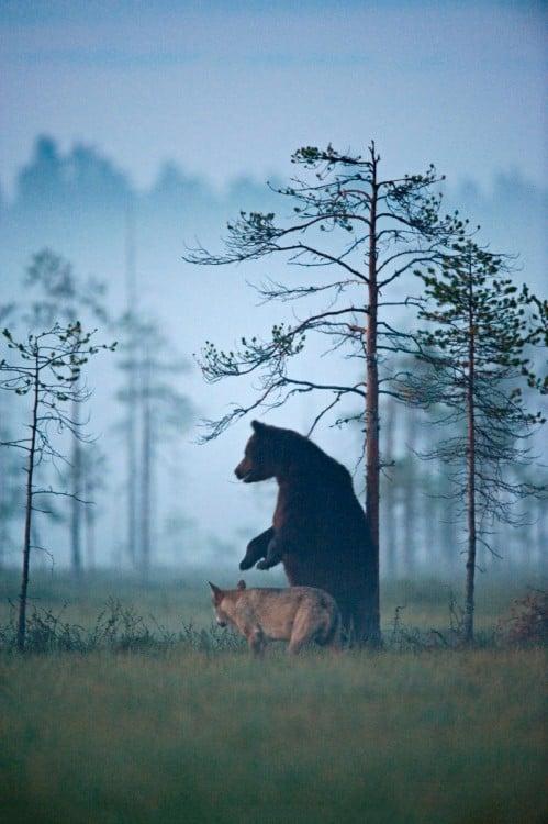 oso y loba mirando al horizonte juntos mientras ven el atardecer