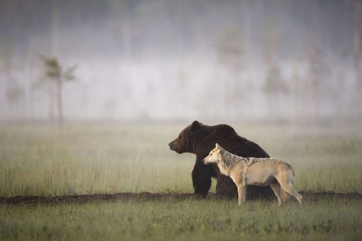 oso y loba juntos cazando listos para asechar a la presa