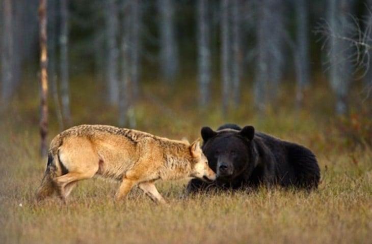 loba acaricia a su amigo oso mientras lo acicala