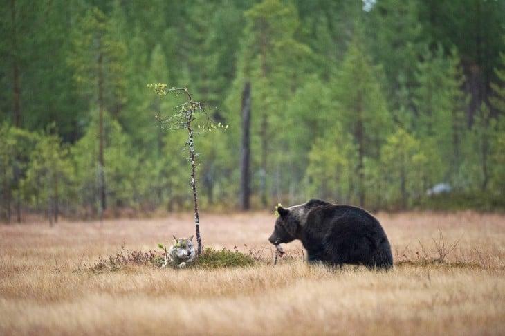 oso le ofrece de su comida para que la loba coma