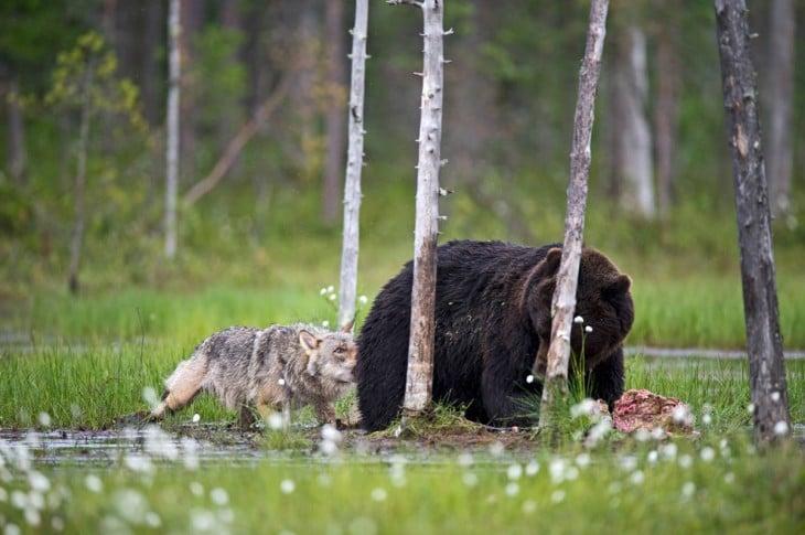 loba jugando con el oso mientras el esta comiendo