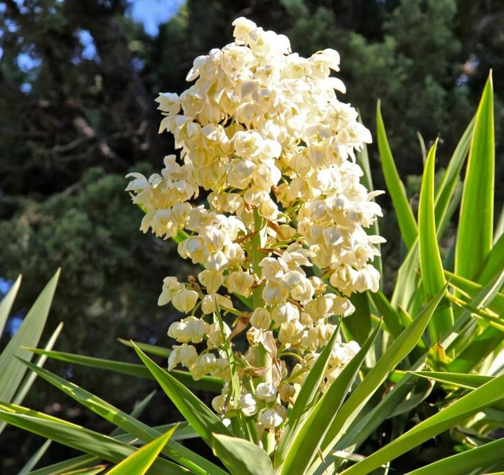 flor de izote flor nacional de el salvador