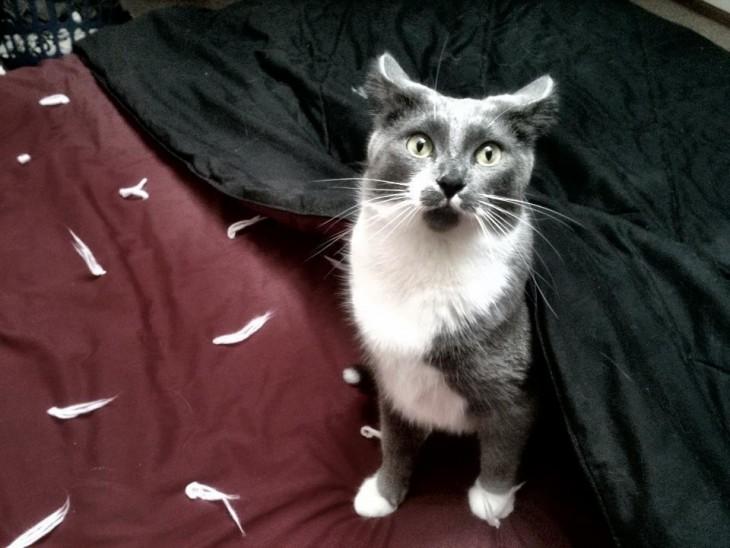 gato que desbarato la almohada de su dueña