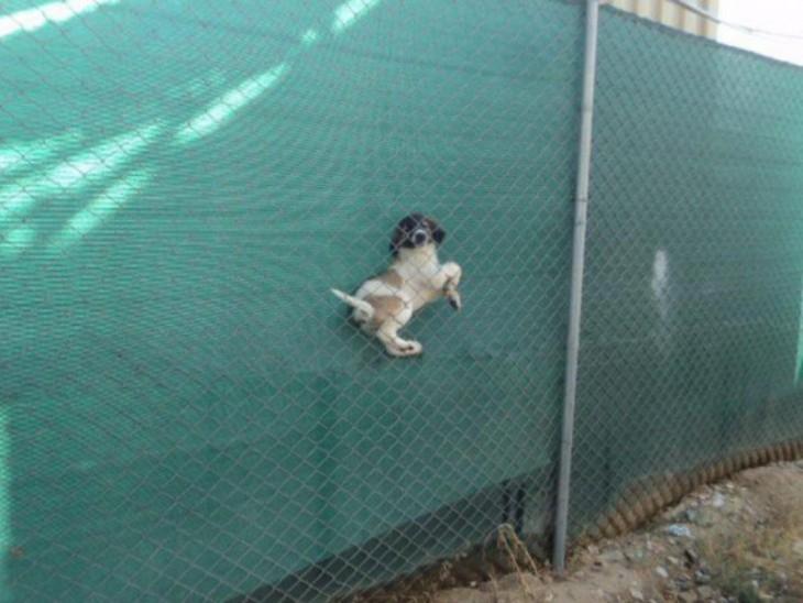 Perro atorado en la barda con la cerca del vecino