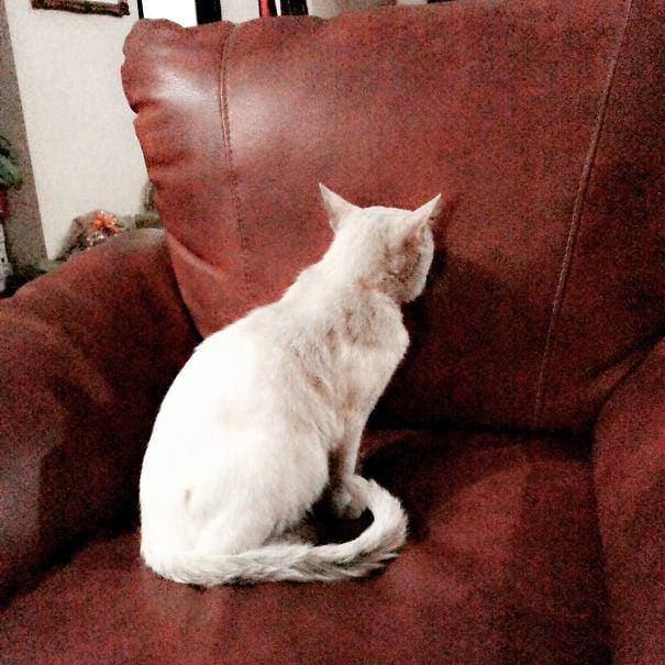 gato viendo el colchon de los sillones