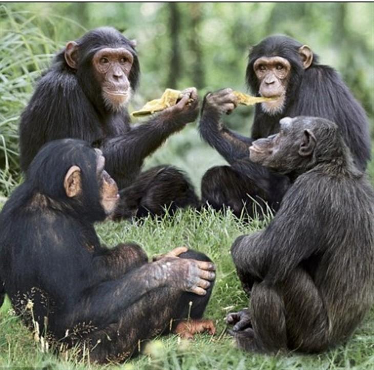 chimpancés comiendo pizza juntos