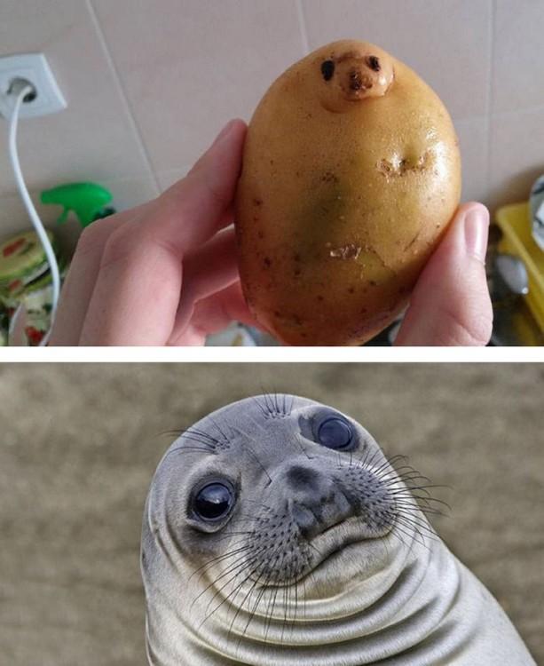 Una papa con cara de foca
