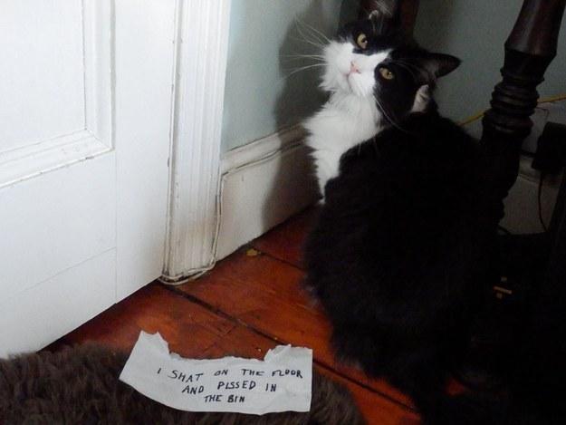 gato se hace popo en el piso de la casa y hace pipi en el deposito