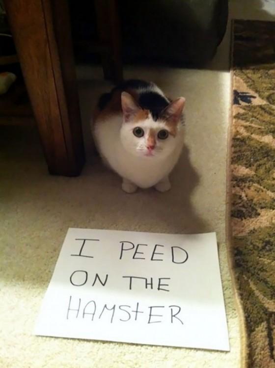 gato que se hace pipi sobre el hamster