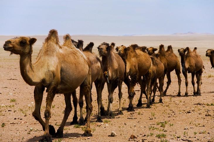Mitos sobre los camellos