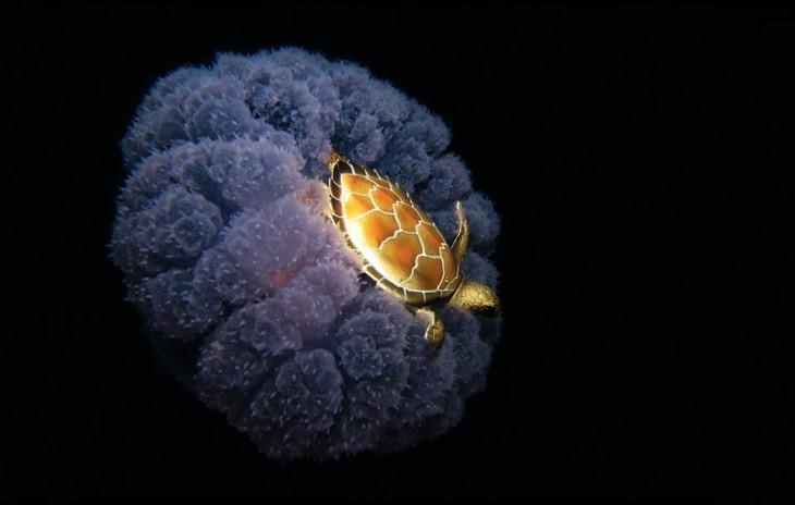 Tortuga viaja encima de una medusa a través del mar , es un hábito normal