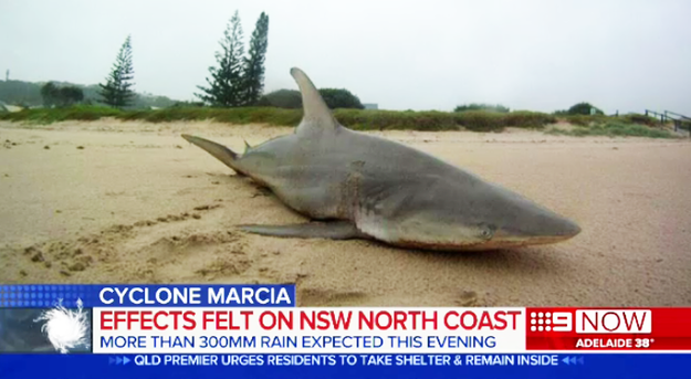 tiburón varado en las playas de australia