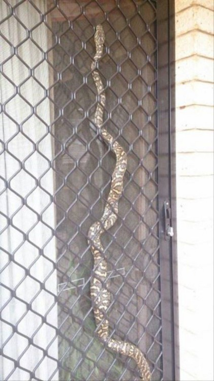 SERPIENTE EN LA VENTANA