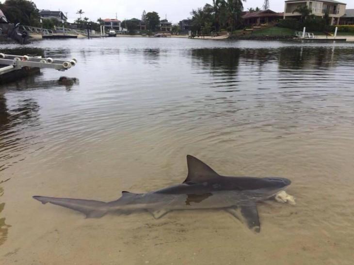 TIBURON BULL SHARK. AUSTRALIA