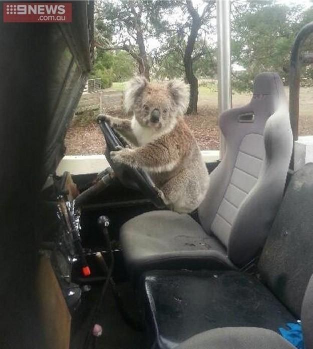 koala manejando un jeep
