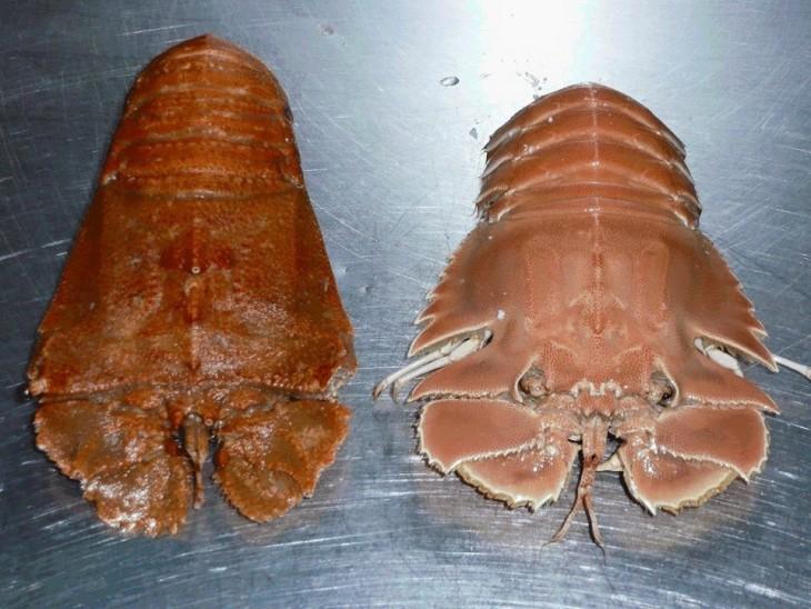 balmain bug manjar local de australia