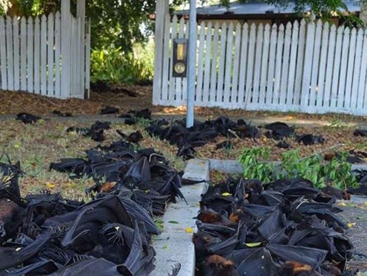 murciélagos muertos a raíz de la ola de calor en australia en 2014