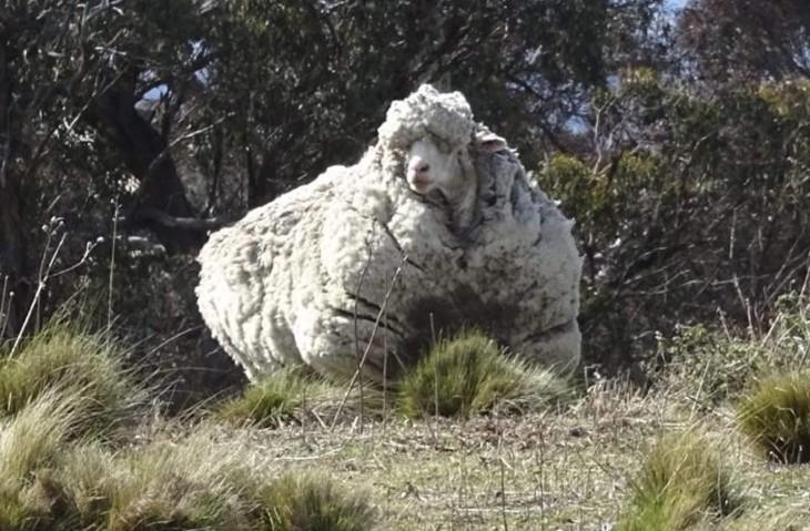 oveja sin rasurar en mucho tiempo