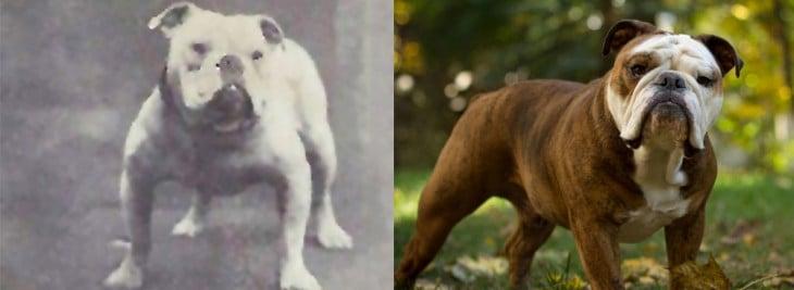 bulldog Inlges 1915 2015