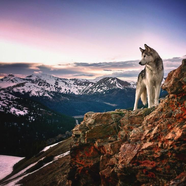 Loki el perrolobo sobre una montaña