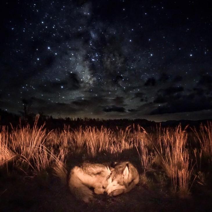 Loki el perro lobo dormido bajo un cielo lleno de estrellas por la noche
