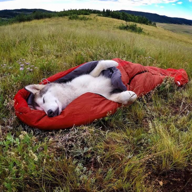 Loki el perrolobo dormido sobre un sleeping en el suelo