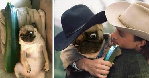 Una batalla mas de Photoshop en Reddit Ilarante y graciosa, un pug y un pepino los ingredientes principales
