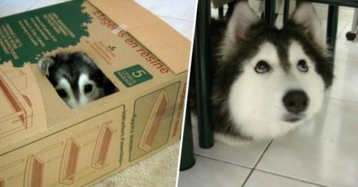 Los patrones de conducta no solo se refieren de entre humanos una muestra es que esta husky adopto los patrones de comportamientos gatunos