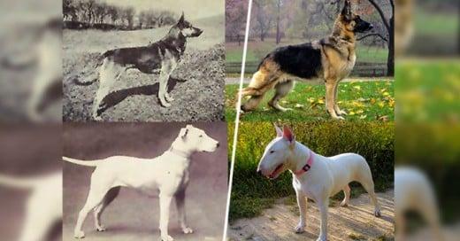 Las razas de perros evolucionaron gracias alingenio humano aqui la muestra del cambio a través de 100 años