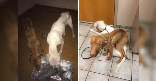 Una trasformacion increiblre de estos dos perros que pasaron de ser puro esqueleto a un pero saludable