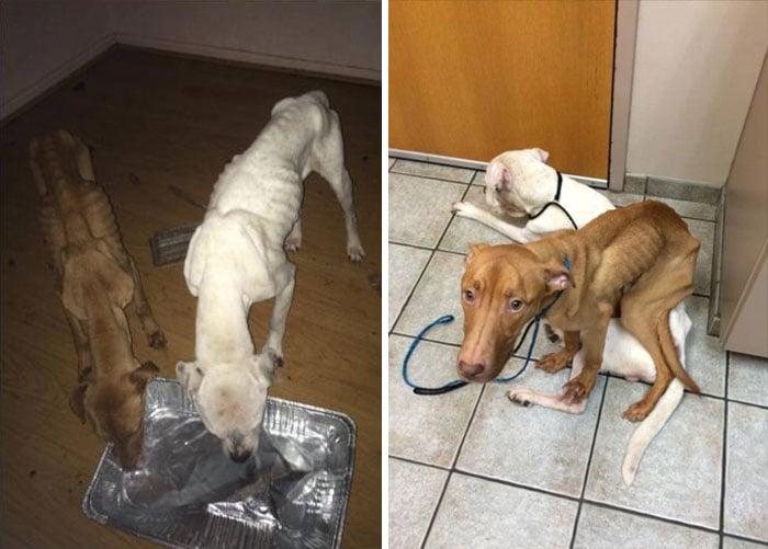 Fotografías que muestran a dos perros desnutridos encontrados por policías en Chicago
