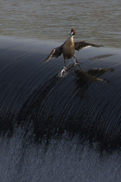 fotografía de un pato que parece estar surfeando a la orilla de una catarata