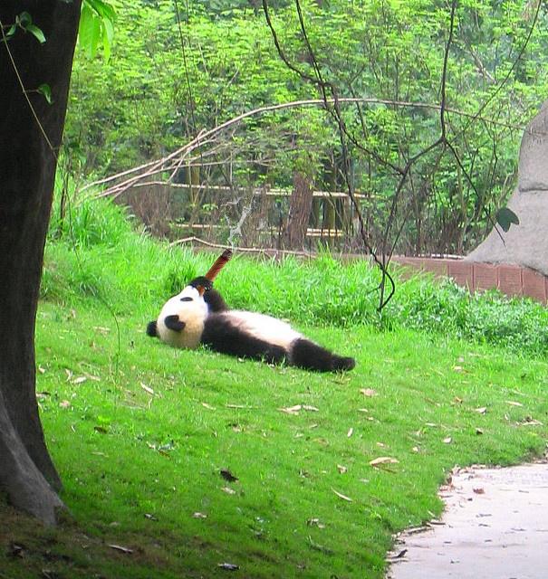 fumando un habano elosito panda