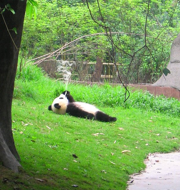 panda fumando mota