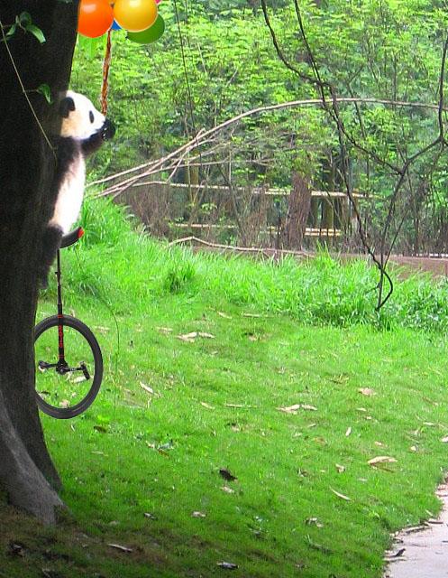 pandita en un monociclo