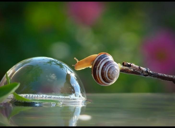 caracol terrestre haciendo burbujas con su mucosa para pasar de lugar