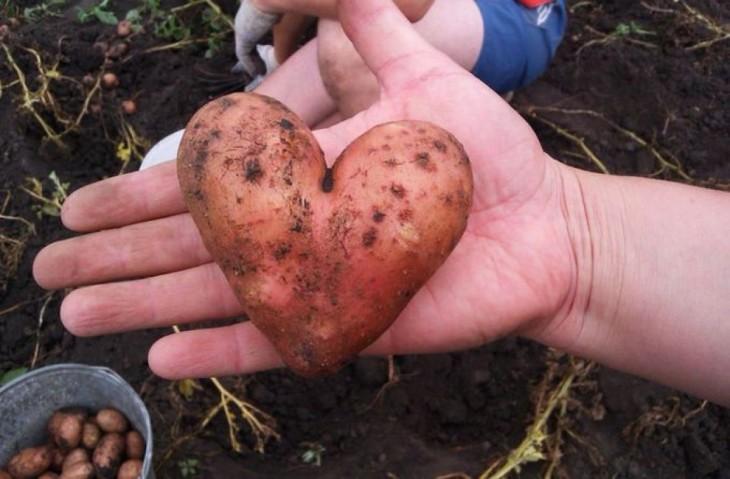 Mão segurando uma batata em forma de coração