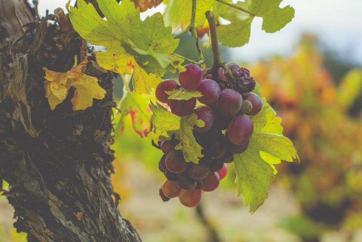 uvas en el viñedo