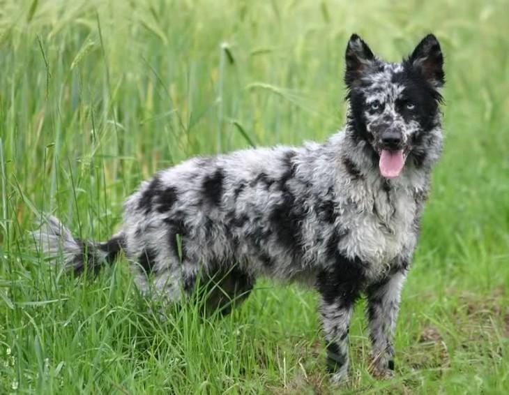 perro pastor hungaro pastor Mudi