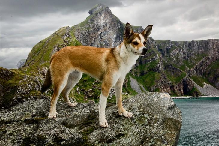 Lundehund noruego perro con seis dedos en cada pata