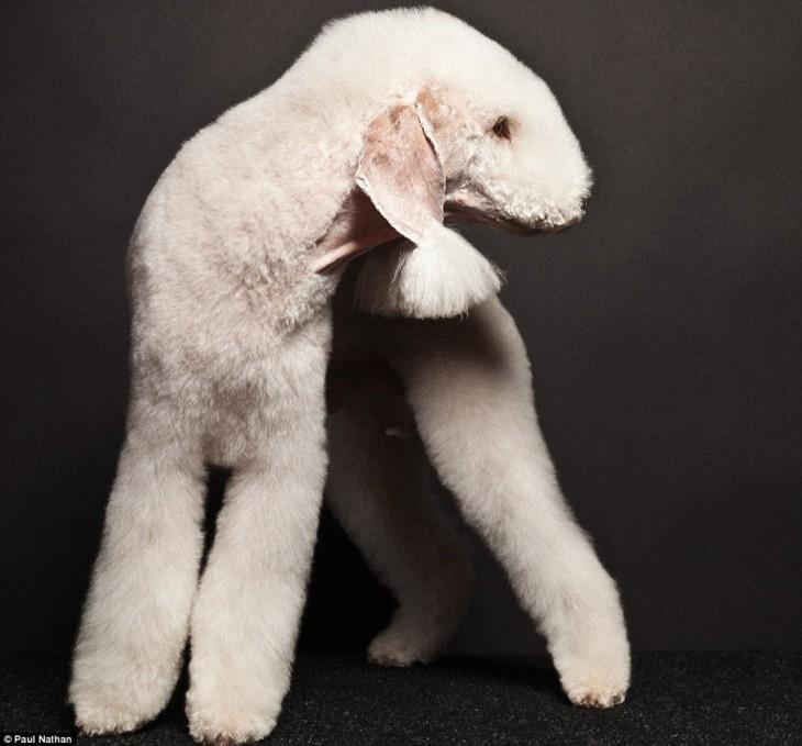 Terrier Bedlington perro que parece oveja
